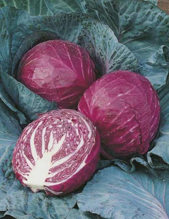Cabbage Red Ruby Ball F1