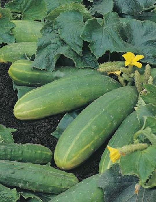 Cucumber Spacemaster CONTAINER GARDEN