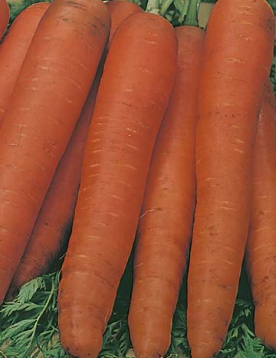 Carrot All Year Round