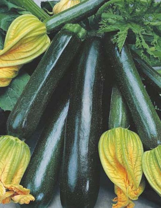 Zucchini Black Beauty ORGANIC