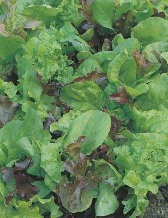 Lettuce Mixed Salad Leaves