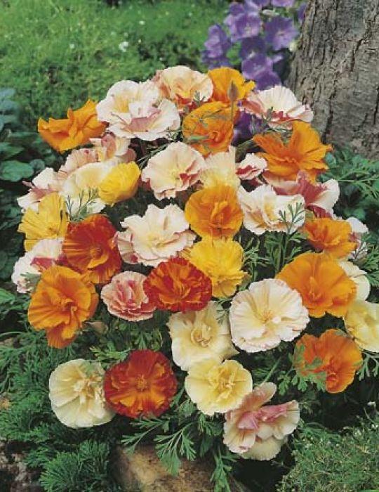 Californian Poppy Monarch Art Shades