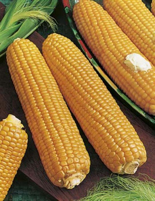 Sweet Corn Kelvedon Glory F1