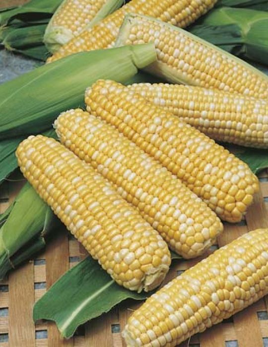 Sweet Corn Snow Gold Bicolour F1