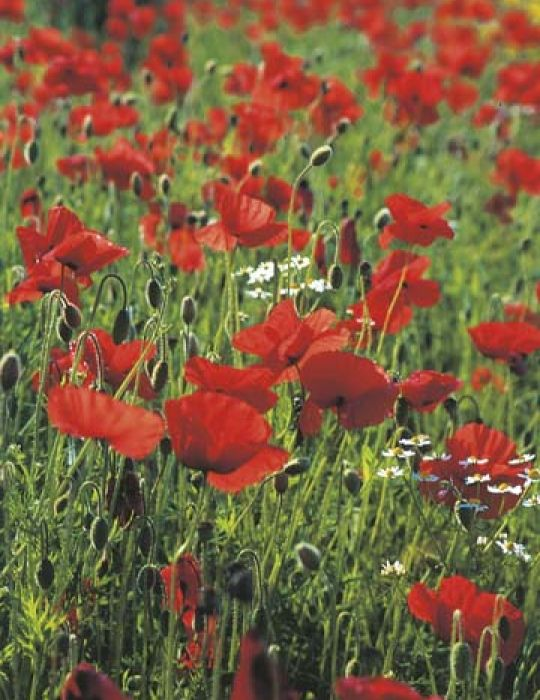 Poppy Flanders Red Remembrance