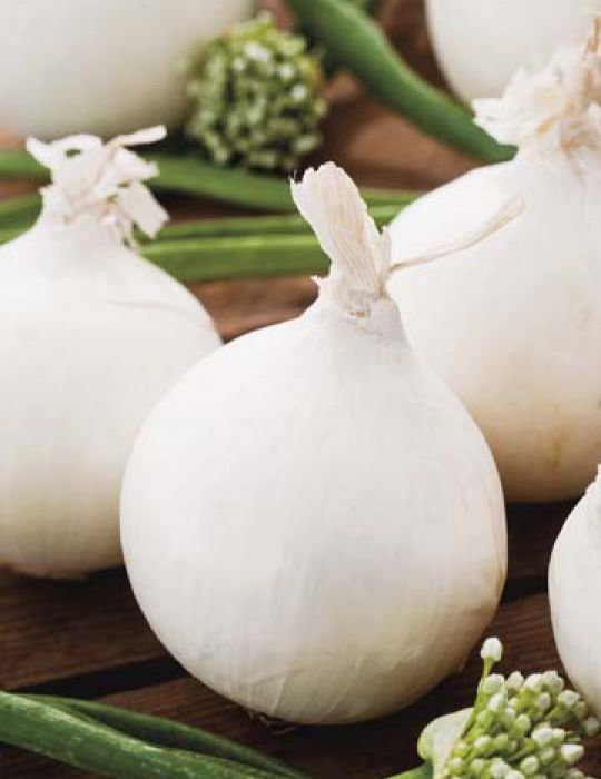 Onion Gladalan White