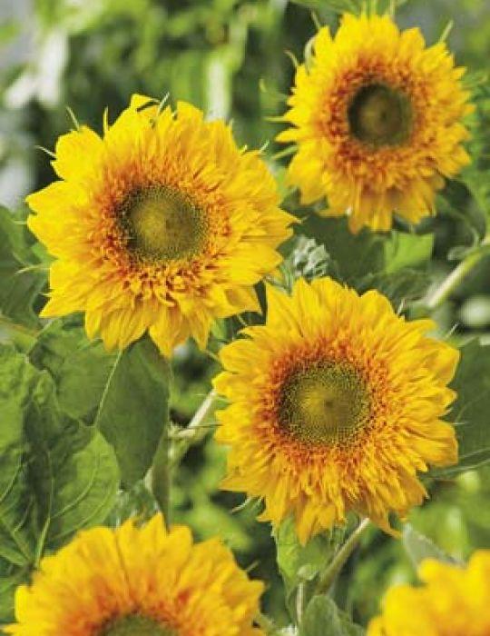 Sunflower Double Delight F1