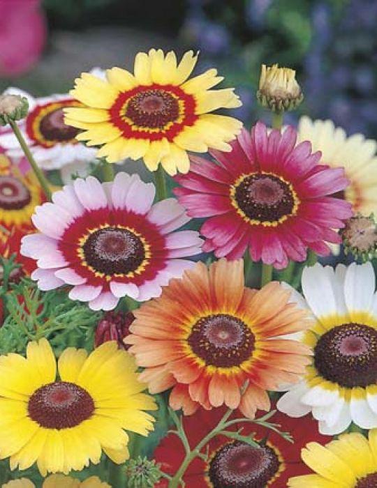 Chrysanthemum Rainbow Mix