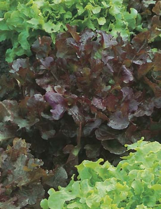 Lettuce Red and Green Salad Bowl ORGANIC