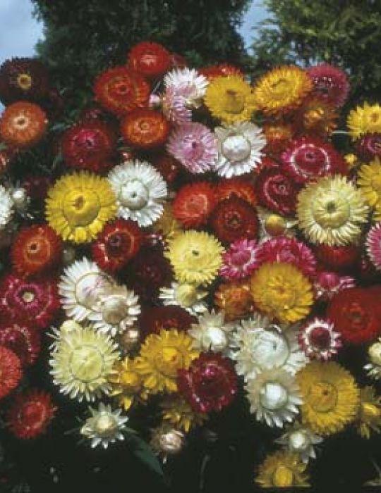 Strawflower (Paper Daisy) Tall Mixed