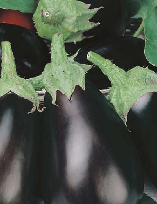 Eggplant Black Beauty F1