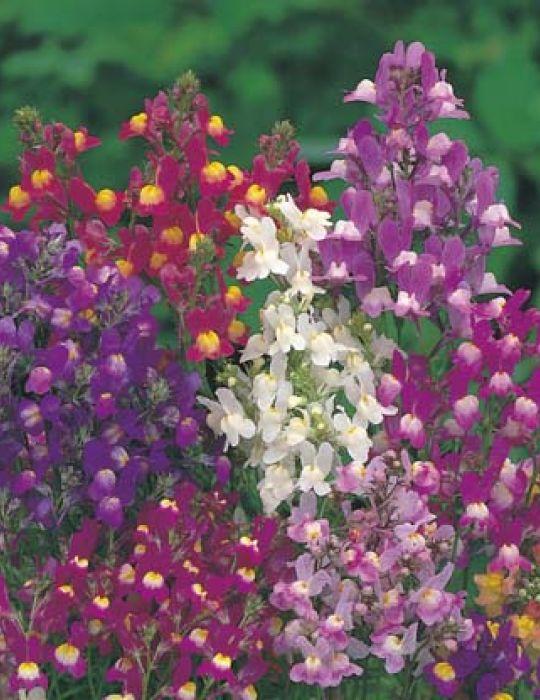 Linaria Fairy Bouquet