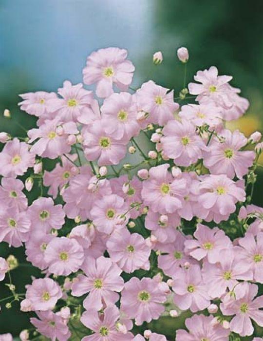 Gypsophila Bright Rose