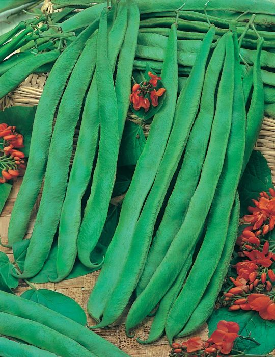 Runner Bean Scarlet Runner '7 Years'