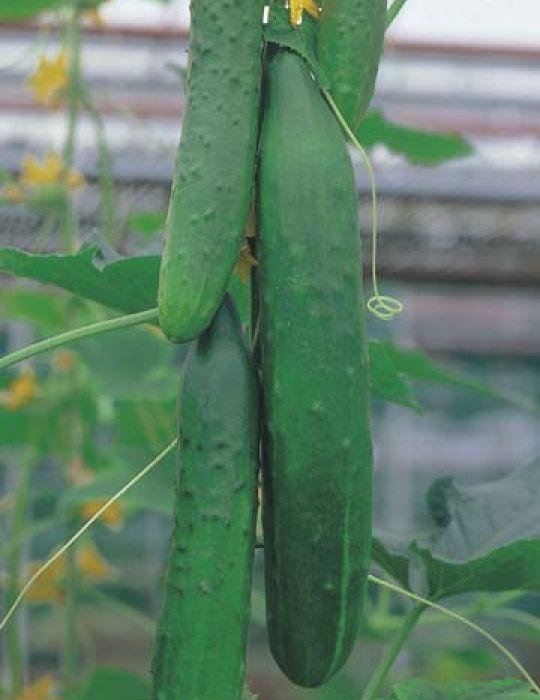 Cucumber Burpless F1