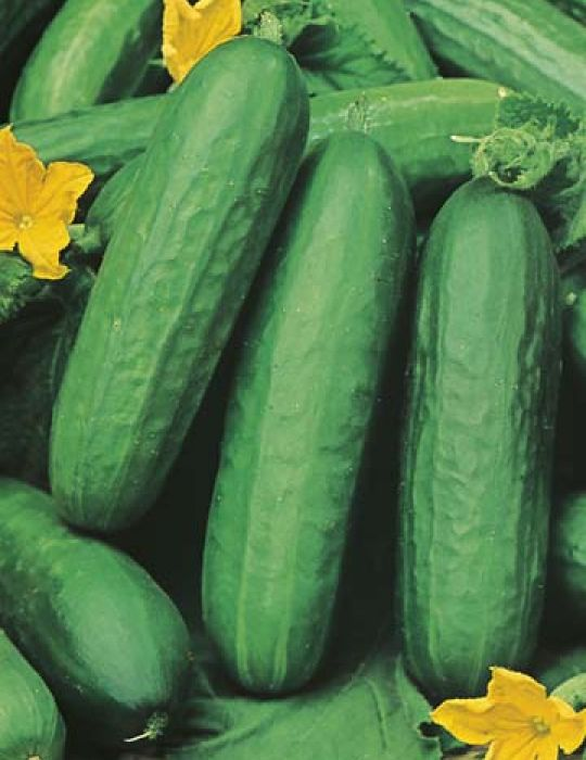 Cucumber Lebanese