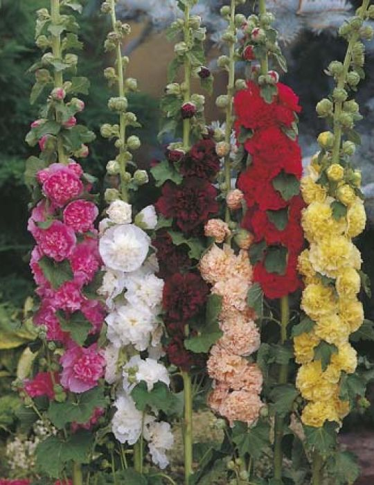 Hollyhock Chaters Double Mixed