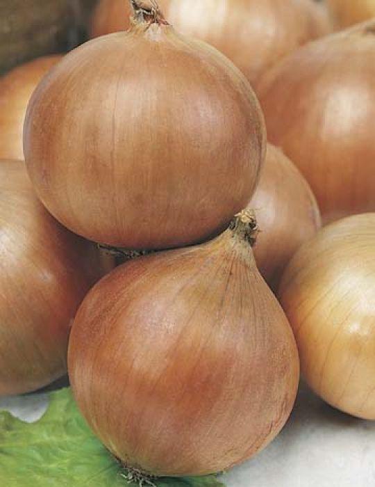 Onion Hunter River Brown