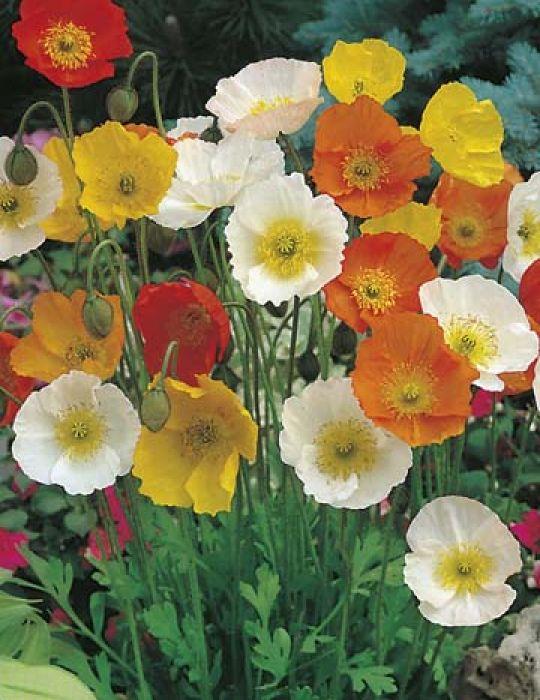 Poppy Iceland Mixed Colours