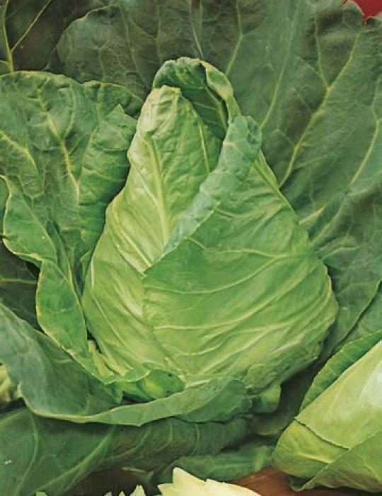 Cabbage Sugarloaf