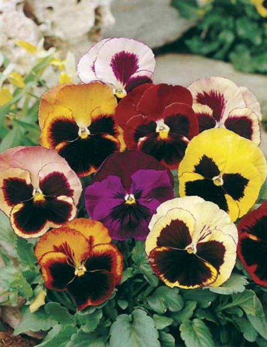 Pansy 'Swiss Giants Mixed'