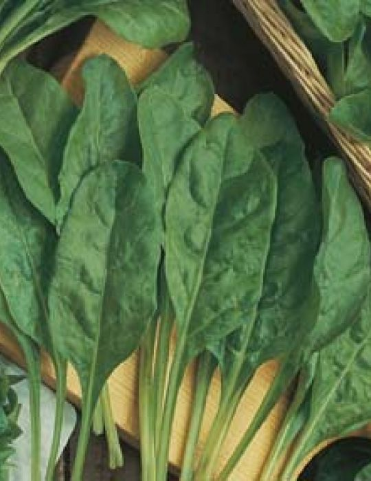 Spinach Perpetual Leaf