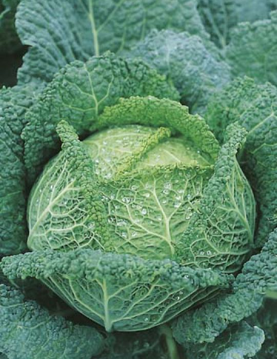 Cabbage Savoy King F1