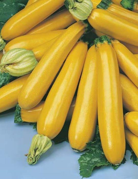 Zucchini Gold Rush F1
