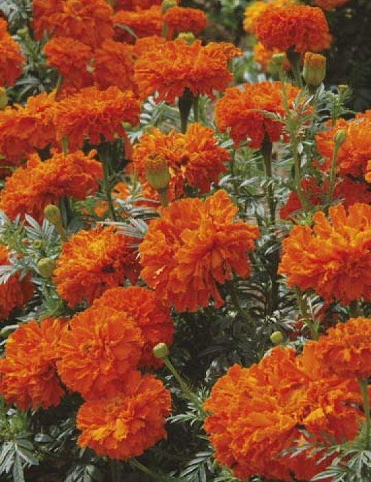 Marigold Kees' Orange