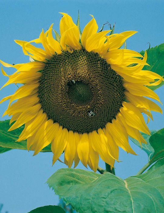 Sunflower Giant Russian