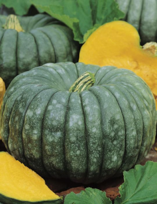 Pumpkin Queensland Blue