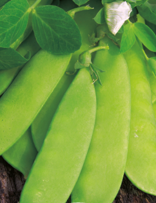 Snow Pea, Climbing Mammoth Melting