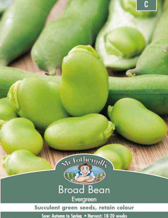 Broad Bean Evergreen
