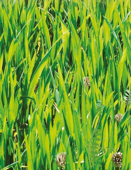 Green Manure 'Cover Crop'