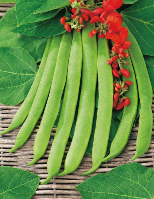 Runner Bean Scarlet Runner Stringless