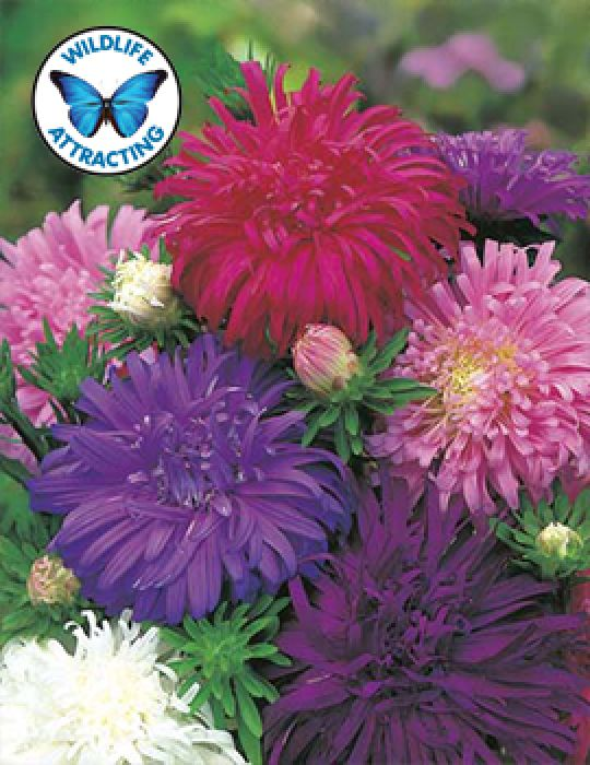 Aster Californian Giant