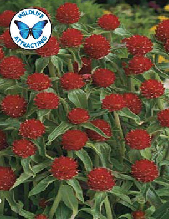 Gomphrena Strawberry Fields (Seeds)