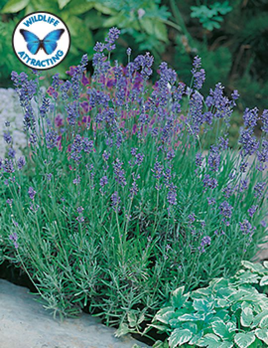 Lavender English Dwarf