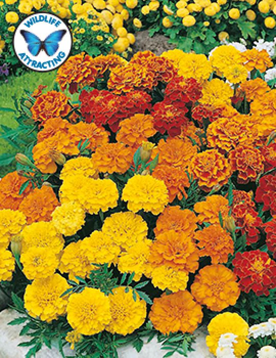 Marigold Dwarf Double Mixed