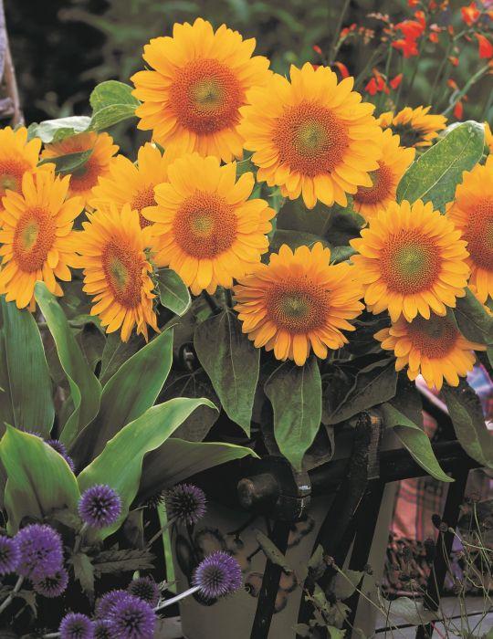 Sunflower Envy F1
