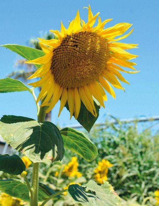 Sunflower Giant King Kong