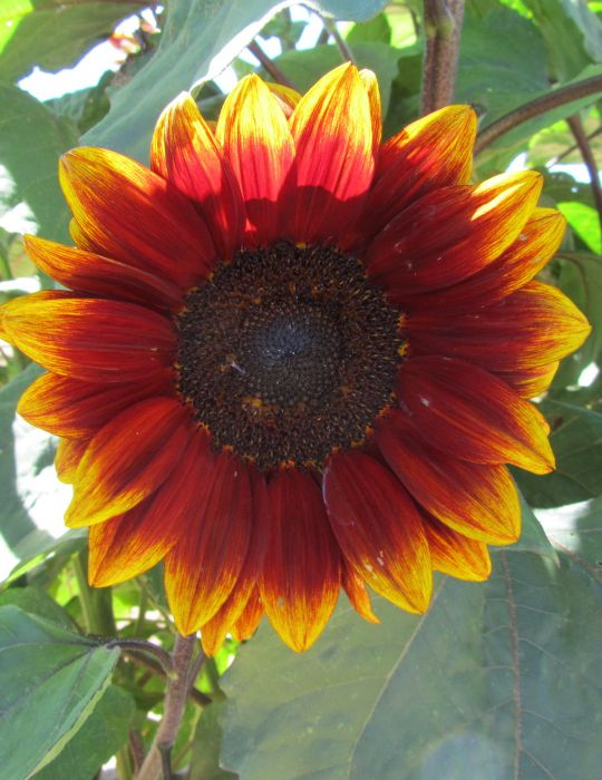 Sunflower Royal Velvet F1