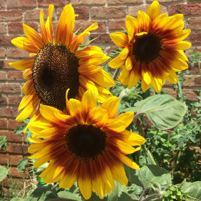 Create your own sunshine with Sunflowers