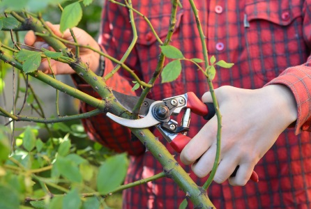 rose pruning with darlac